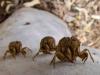 Lawn Hill cicadas