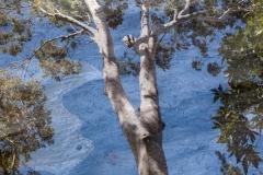 Blue Gums Carnarvon Gorge National Park QLD