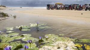 Ocean Beach lilies, Fraser Island