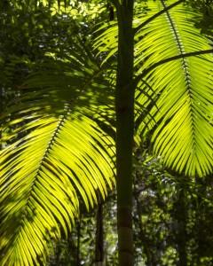 Central Station palms, Fraser Island