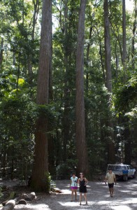 Satinay forest, Pile Valley, Fraser Island