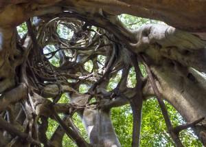 Fraser Island strangler fig